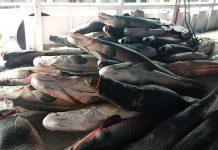 PC distribui mais de 15 toneladas de pescado apreendido em ações policiais