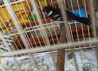 Pássaros silvestres ilegais são apreendidos em loja da Cidade Nova