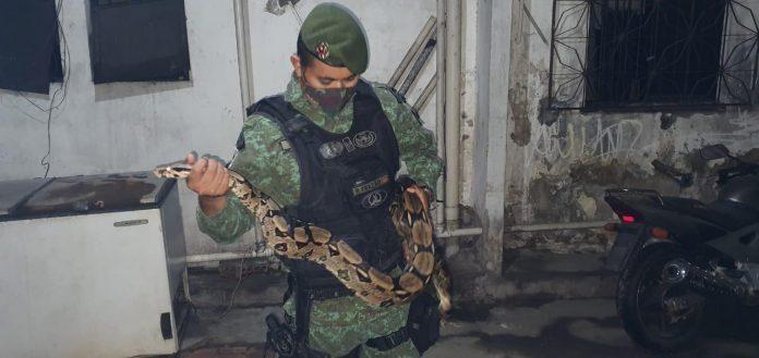 CPAmb/BPAmb captura cobra jiboia 'criada' em residência