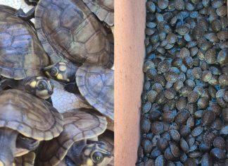Dono de embarcação é preso e polícia apreende 684 filhotes de tartaruga